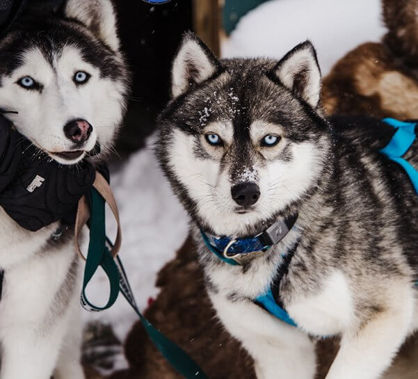 Two Dogsledding Dogs from Second Chance Mushers